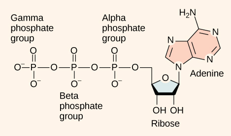 This illustration shows the molecular structure of ATP. This molecule is an adenine nucleotide with ribose and a string of three phosphate groups attached to it. The phosphate groups are named alpha, beta, and gamma in order of increasing distance from the ribose sugar to which they are attached.