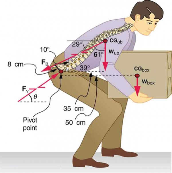 A man is bending forward to lift a box. The back muscles and vertebrae of the person are shown. The weight of the box is acting downward at its center of gravity. The vertebrae of the man are inclined vertical at sixty one degrees. A point on the joint of legs to the upper body is the pivot point. The distance between the center of gravity of the box and the pivot is fifty centimeters and perpendicular distance between the pivot and the weight of the man is thirty five centimeters.