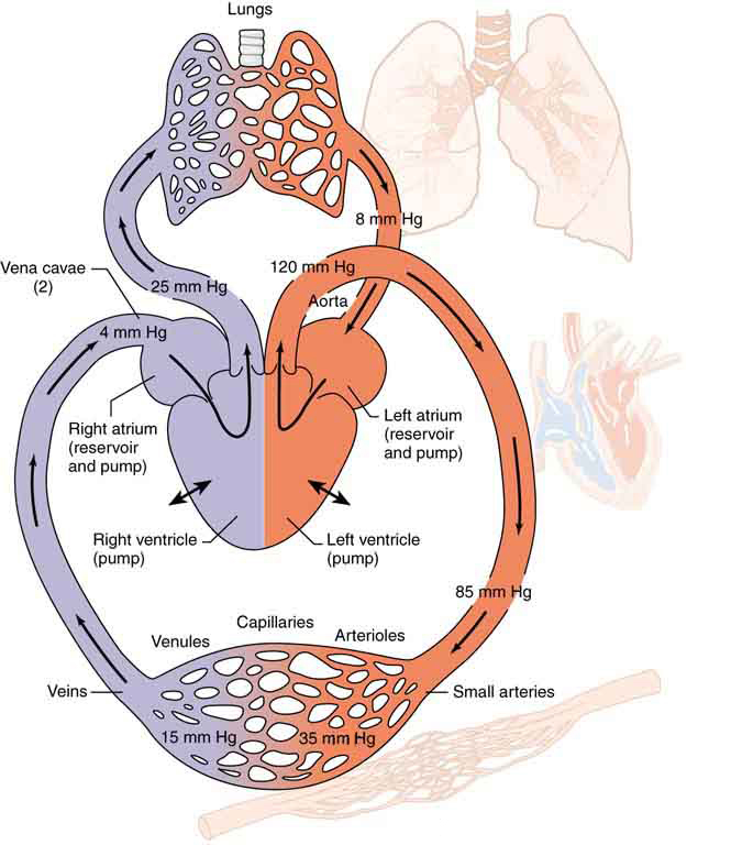 Viscosity and laminar flow poiseuilles law physics figure is a schematic diagram of the circulatory system the lungs heart arteries ccuart Image collections