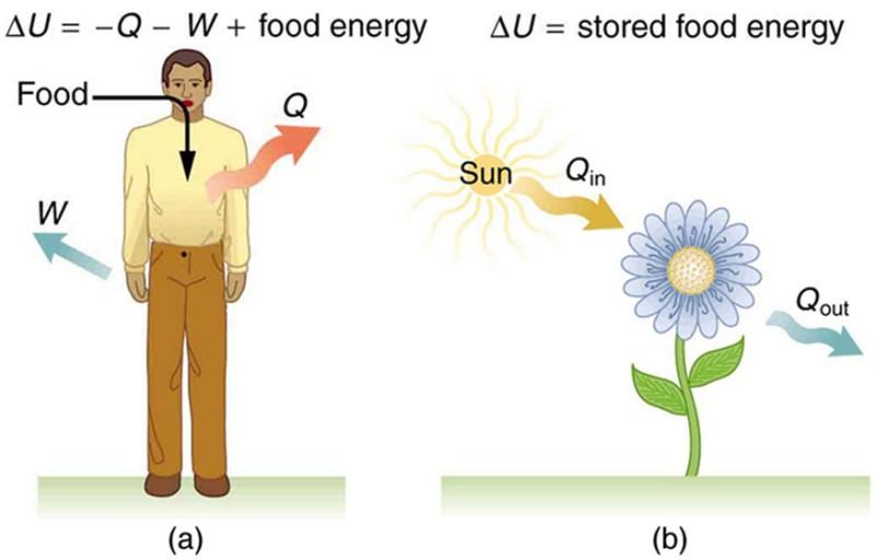 Part a of the figure is a pictorial representation of metabolism in a human body. The food is shown to enter the body as shown by a bold arrow toward the body. Work W and heat Q leave the body as shown by bold arrows pointing outward from the body. Delta U is shown as the stored food energy. Part b of the figure shows the metabolism in plants .The heat from the sunlight is shown to fall on a plant represented as Q in. The heat given out by the plant is shown as Q out by an arrow pointing away from the plant.