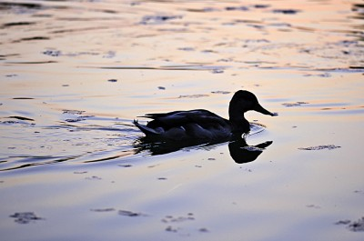 Photograph of a black duck swimming in water. The path left behind by the duck in water shows a near cone shape.
