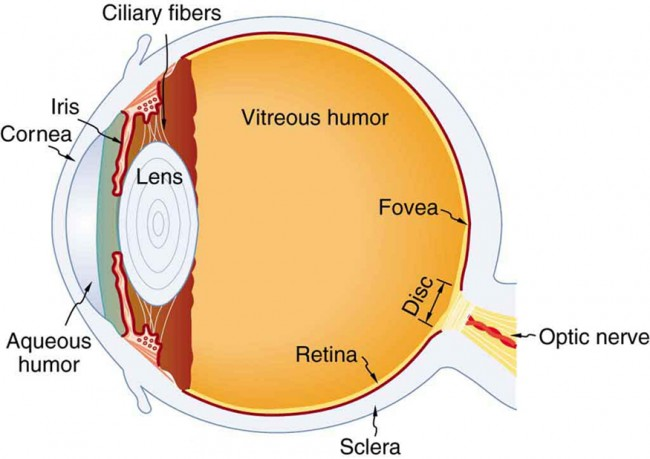 The figure depicts the internal structure of an eye with labels. These labels include cornea, iris, aqueous humor, ciliary fibers, lens, vitreous humor, retina, fovea, sclera disc, and optic nerve.