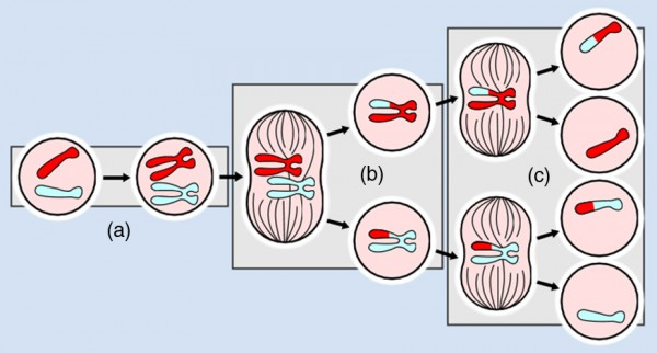 The figure gives an artist's view of different stages of meiosis.