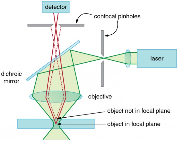 Schematic of a confocal microscope. There is a sample at the bottom, a pinhole at the top, and a pinhole at the right side. The sample is a horizontal rectangle that is rather thick in the vertical direction. A green laser beam coming from the right is focused through the right pinhole, then reflects downward off of a dichroic mirror. It is then collected by a horizontal objective lens and focused onto the sample. The focus is not a point, but an extended zone where the beam diameter is minimal. Two solid red rays leave the focal plane of the objective lens and diverge upward. This plane is inside the sample and is labeled object in focal plane. These rays pass through the objective lens and begin to converge. After passing through the dichroic mirror, they continue upward and are focused through the top pinhole. After passing through this pinhole, these rays enter a detector. Two dashed red rays leave the sample at a point slightly above the focal plane, which is labeled object not in focal plane. These rays follow similar paths as the solid red rays, but they do not focus on the pinhole and so are blocked and do not reach the detector.