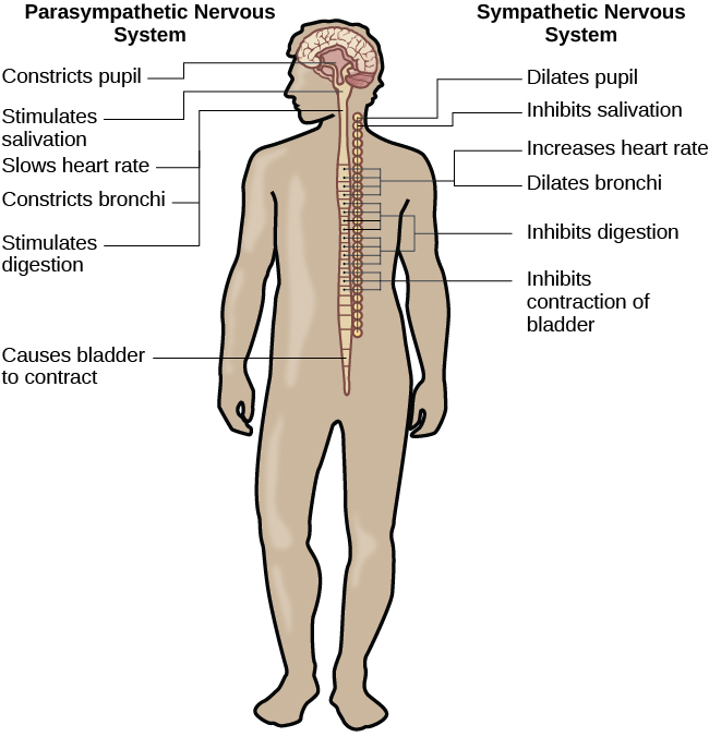 Parts of the nervous system introduction to psychology a diagram of a human body lists the different functions of the sympathetic and parasympathetic nervous ccuart Images