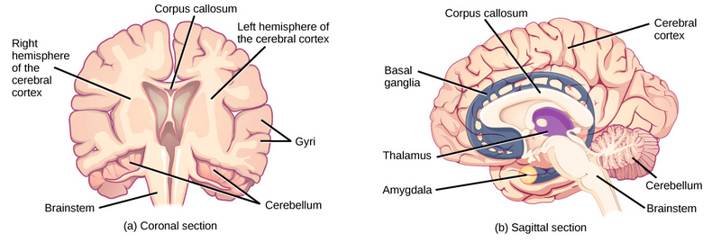 Part a shows coronal (front) and sagittal (side) sections of a human brain. In the coronal section, the large upper part of the brain, called the cerebral cortex, is divided into left and right hemispheres. A cavity resembling butterfly wings exists between the left and right cortex. The corpus callosum is a band that connects the two hemispheres together, just above this cavity. The surface of the cerebral cortex contains bumpy protrusions called gyri. The cerebral cortex is anchored by the brain stem, which connects with the spinal cord. On either side of the brainstem tucked beneath the cerebral cortex is the cerebellum. The surface of the cerebellum is bumpy, but not as bumpy as the cerebral cortex. The sagittal section reveals that the cerebral cortex makes up the front and top part of the brain, while the brainstem and cerebellum make up the lower back part. The oval thalamus sits in the cavity in the middle of the cerebral cortex. The corpus callosum wraps around the top part thalamus. The basal ganglia wraps around the corpus callosum, starting at the lower front part of the brain and continuing three-quarters of the way around so the back end almost meets the front end. The basal ganglia is separated into segments that are connected along the top and bottom. The amygdala is a spherical structure at the end of the basal ganglia.