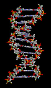 Molecular model depicts a DNA molecule, showing its double helix structure.
