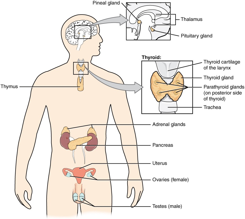 An Overview of the Endocrine System | Anatomy and Physiology II
