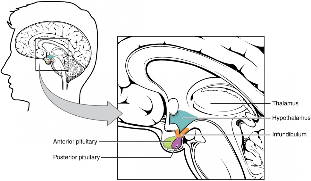 "This illustration shows the hypothalamus-pituitary complex, which is located at the base of the brain and shown here from a lateral view. The hypothalamus lies inferior and anterior to the thalamus, which is sits atop the brainstem. The hypothalamus connects to the pituitary gland by the stalk-like infundibulum. The pituitary gland looks like a sac containing two balls hanging from the infundibulum. The ""balls"" are the anterior and posterior lobes of the pituitary. Each lobe secretes different hormones in response to signals from the hypothalamus."