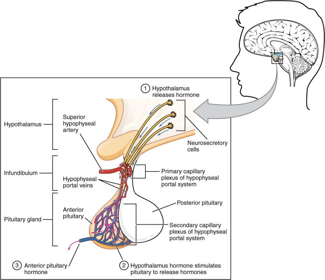 This illustration zooms in on the hypothalamus and the attached pituitary gland. The anterior pituitary is highlighted. Three neurosecretory cells are secreting hormones into a web-like network of arteries within the infundibulum. The artery net is labeled the primary capillary plexus of the hypophyseal portal system. The superior hypophysel artery enters the primary capillary plexus from outside of the infundibulum. The hypophyseal portal vein runs down from the primary capillary plexus, through the infundibulum, and connects to the secondary capillary plexus of the hypophyseal portal system. The secondary capillary plexus is located within the anterior pituitary. The hormones released from the neurosecretory cells of the hypothalamus travel through the primary capillary plexus, down the hypophyseal portal vein, and into the secondary capillary plexus. There, the hypothalamus hormones stimulate the anterior pituitary to release its hormones. The anterior pituitary hormones leave the primary capillary plexus from a single vein at the bottom of the anterior lobe.