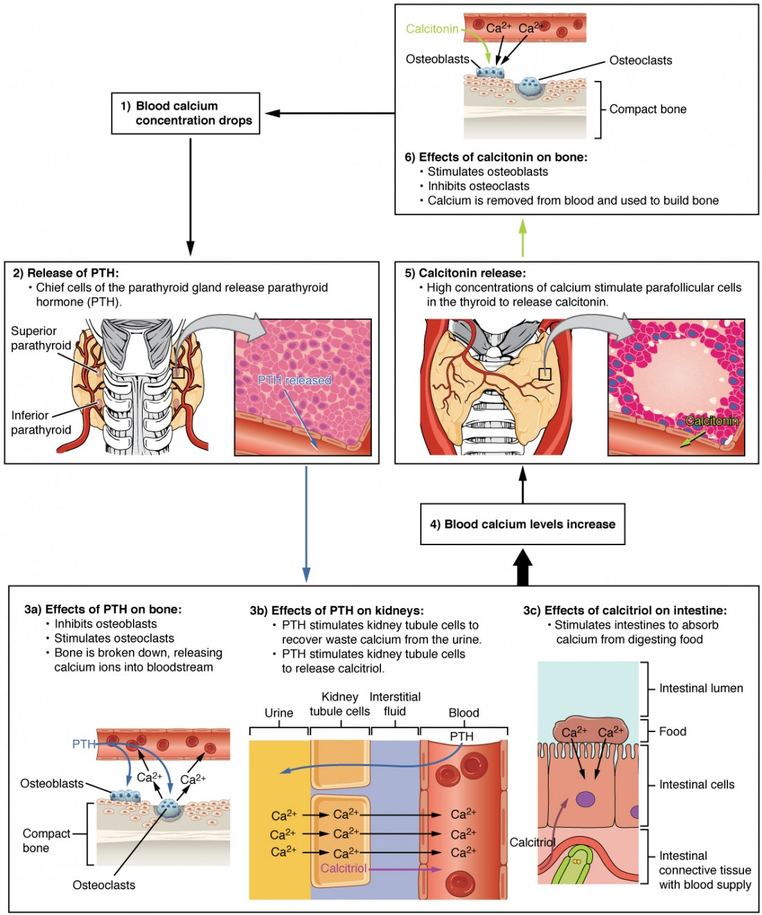 The parathyroid glands anatomy and physiology ii this diagram shows the role of parathyroid hormone in maintaining blood calcium homeostasis when blood ccuart Images