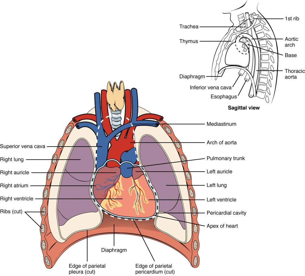 this diagram shows the location of the heart in the thorax