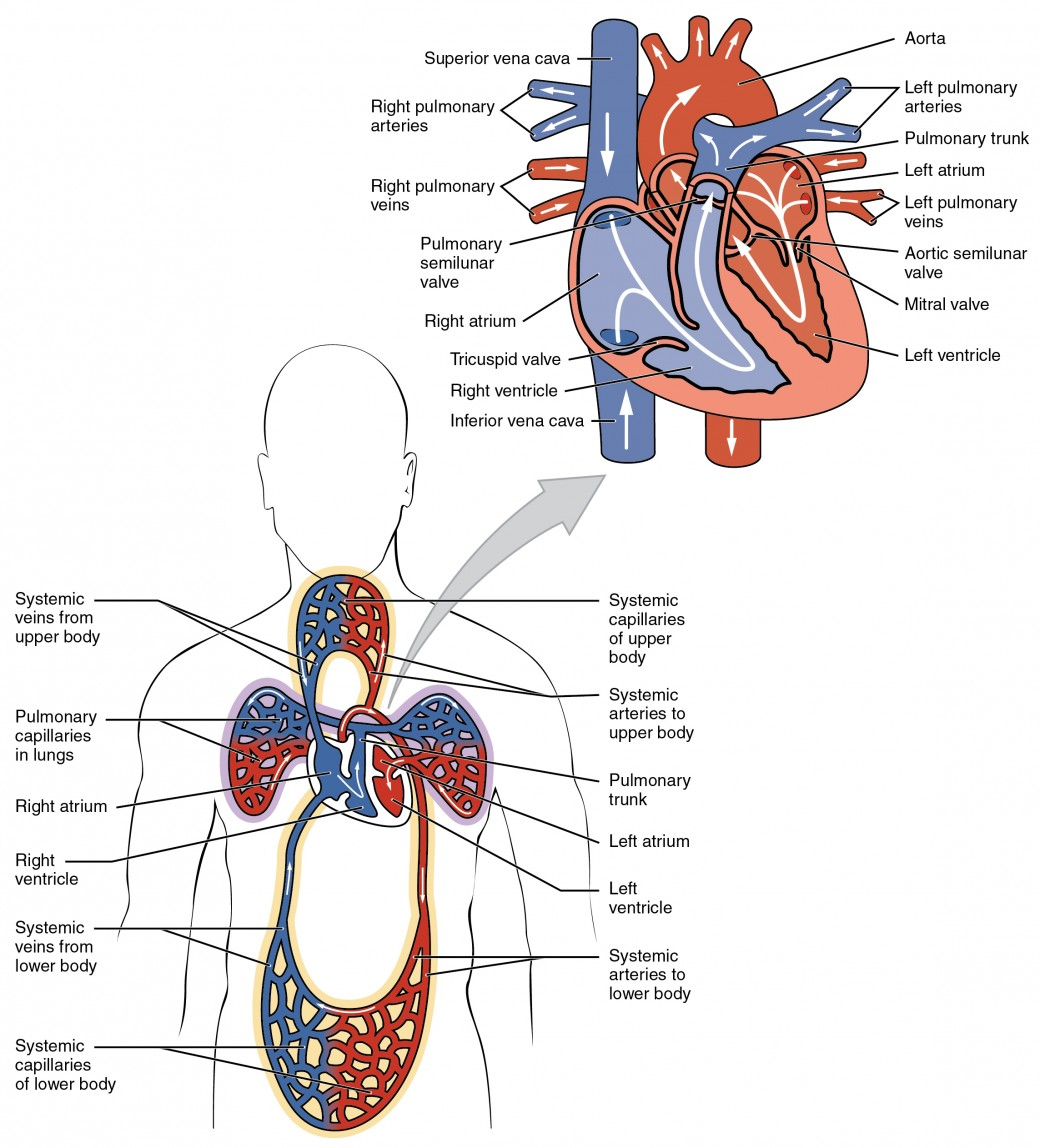 The top panel shows the human heart with the arteries and veins labeled. The bottom panel shows the human circulatory system.