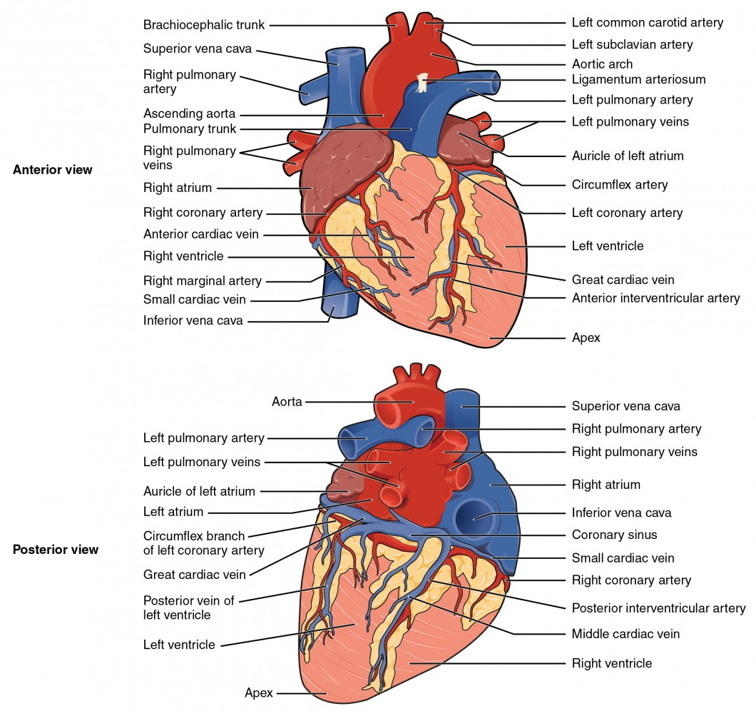 Heart anatomy anatomy and physiology ii the top panel shows the anterior view of the heart and the bottom panel shows the ccuart