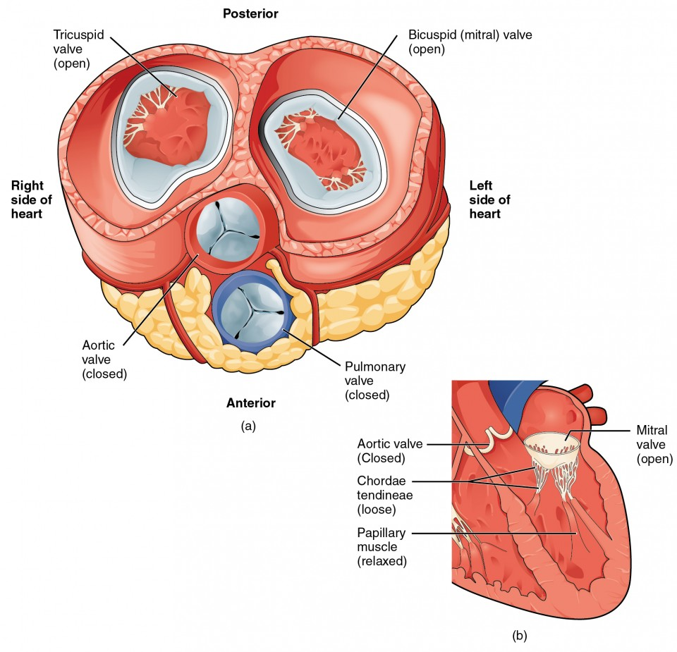 Heart Anatomy Anatomy And Physiology Ii
