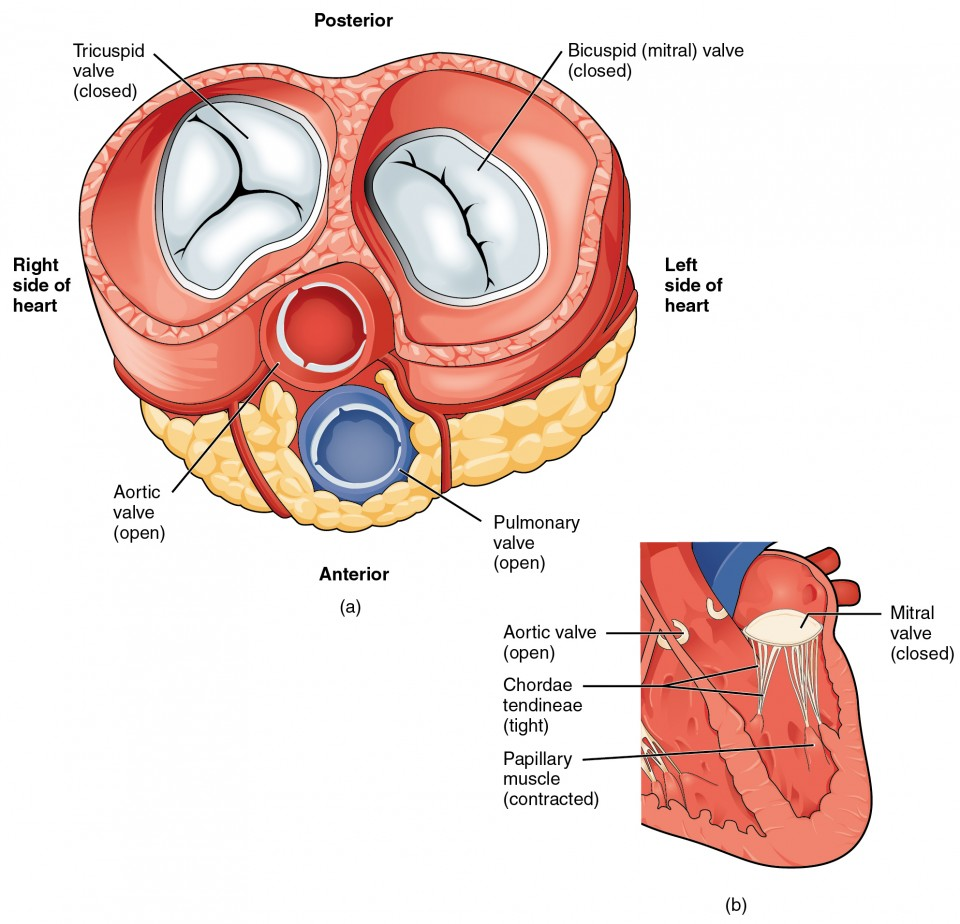 The left panel of this figure shows the anterior view of the heart with the different valves, and the right panel of this figure shows the location of the mitral valve in the closed position in the heart.