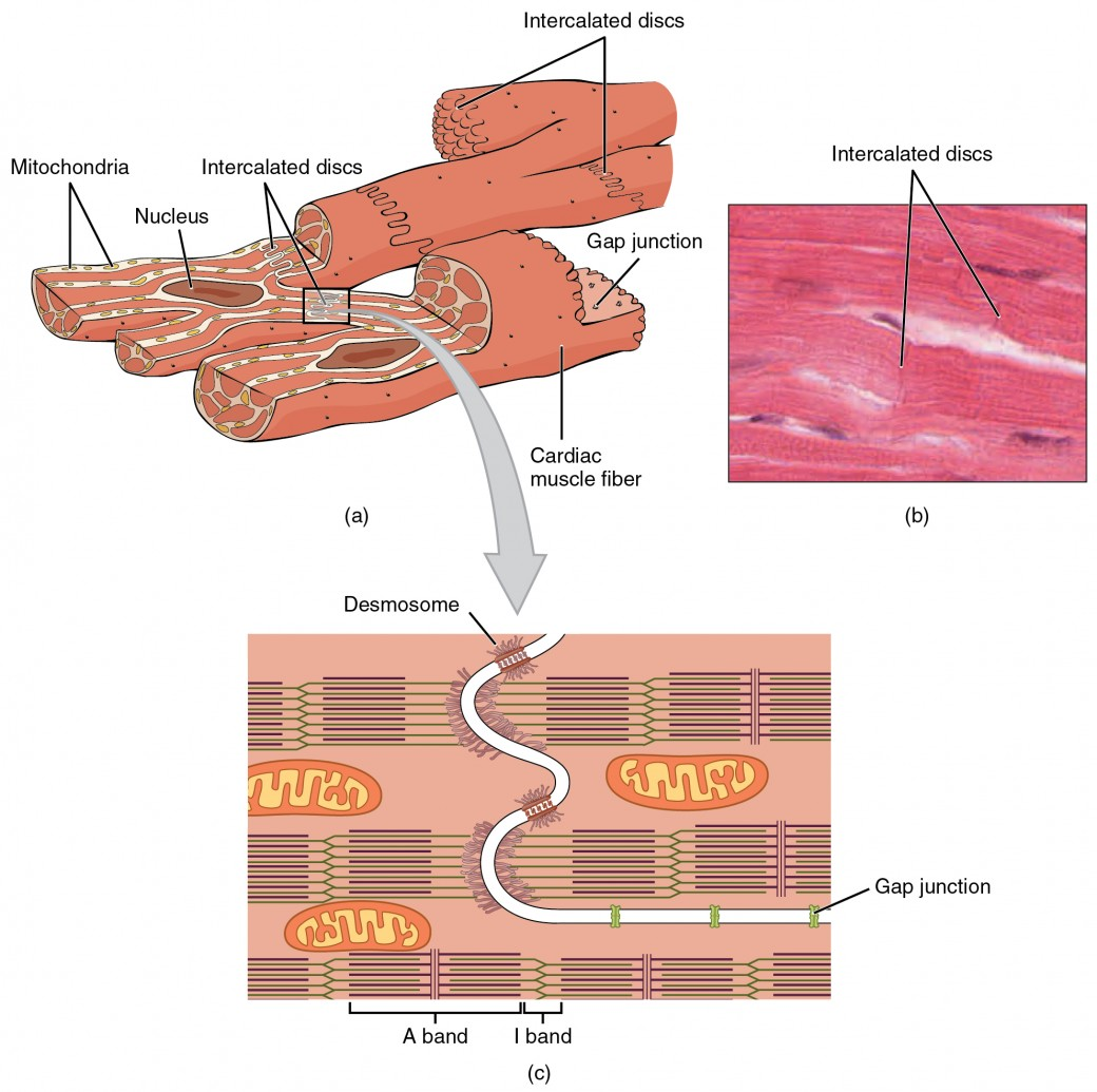 Cardiac Muscle And Electrical Activity Anatomy Physiology Ii Labeled Diagram Of Heart Picture Is Part Today We Give The Top Left Panel This Figure Shows Cross Structure With