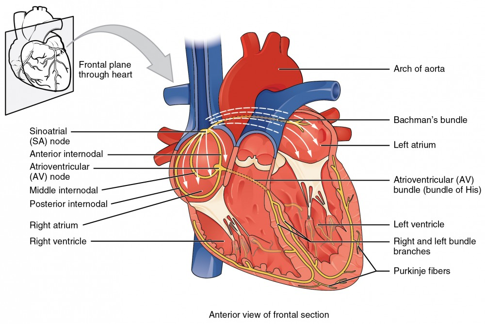 Cardiac muscle and electrical activity anatomy and physiology ii conduction system of the heart ccuart Image collections