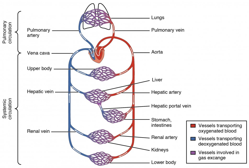 Structure and function of blood vessels anatomy and physiology ii this diagram shows how oxygenated and deoxygenated blood flow through the major organs in the body ccuart Gallery