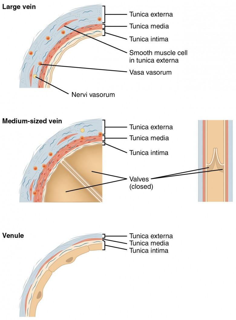 The top panel shows the cross-section of a large vein, the middle panel shows the cross-section of a medium sized vein, and the bottom panel shows the cross-section of a venule.