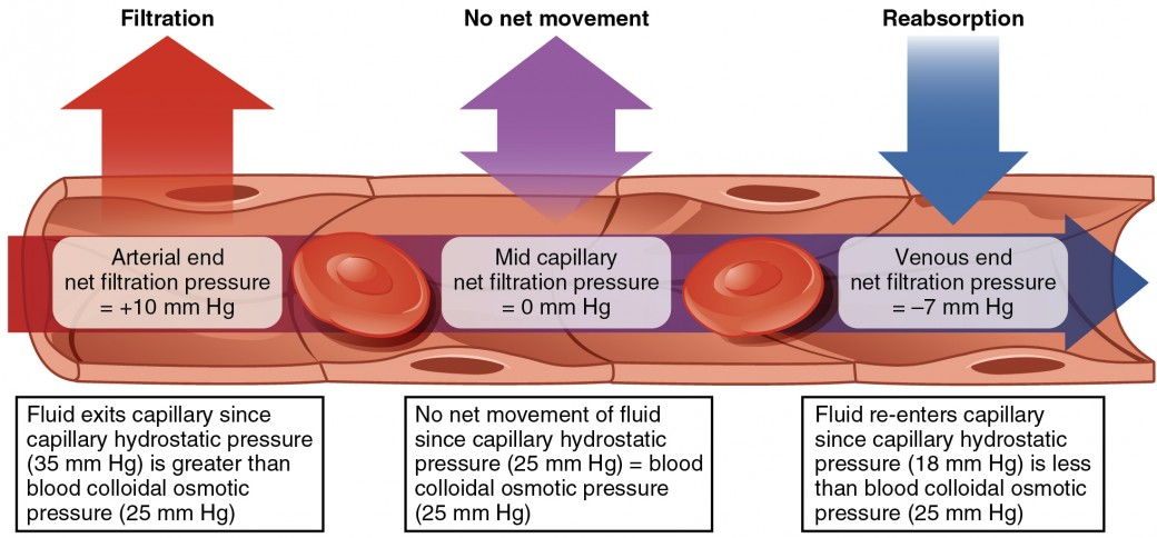 This diagram shows the process of fluid exchange in a capillary from the arterial end to the venous end.
