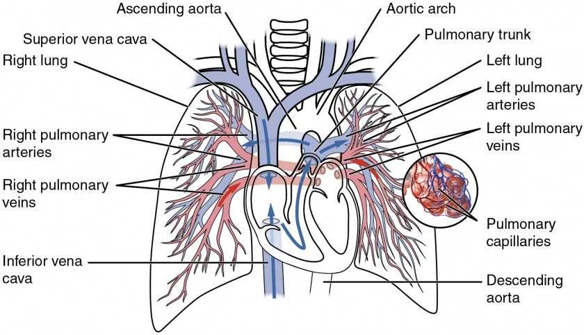 This diagram shows the network of blood vessels in the lungs.