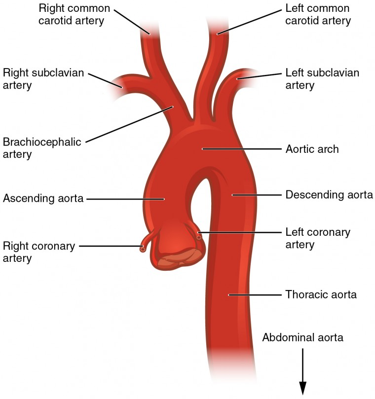 circulatory pathways | anatomy and physiology ii, Human Body