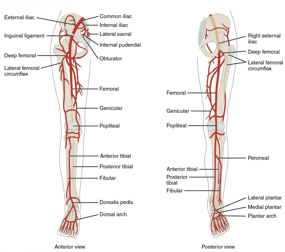 Circulatory pathways anatomy and physiology ii the left panel shows the anterior view of arteries in the legs and the right pooptronica