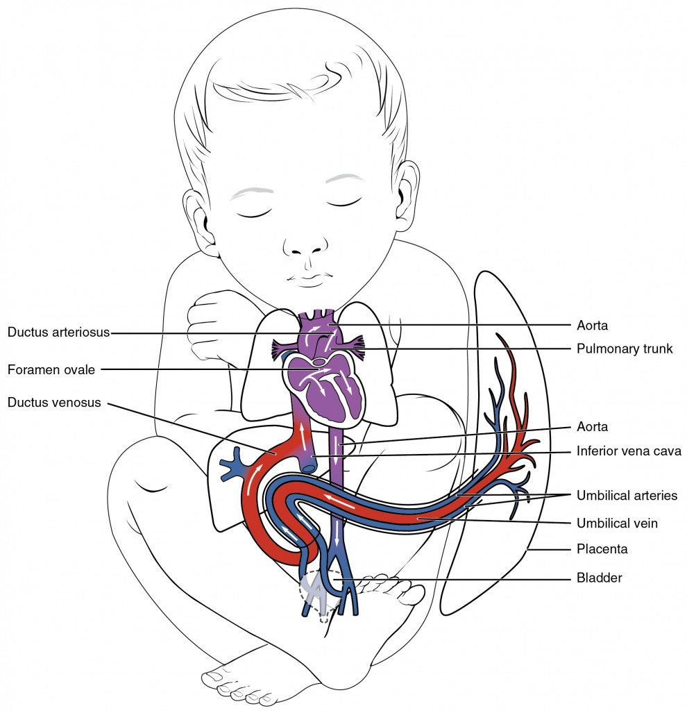 Development Of Blood Vessels And Fetal Circulation Anatomy And