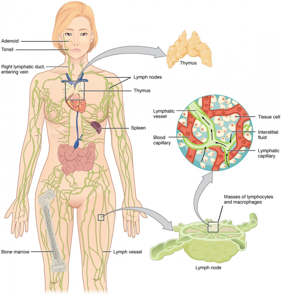 Anatomy of the lymphatic and immune systems anatomy and physiology ii the left panel shows a female human body and the entire lymphatic system is shown ccuart Gallery
