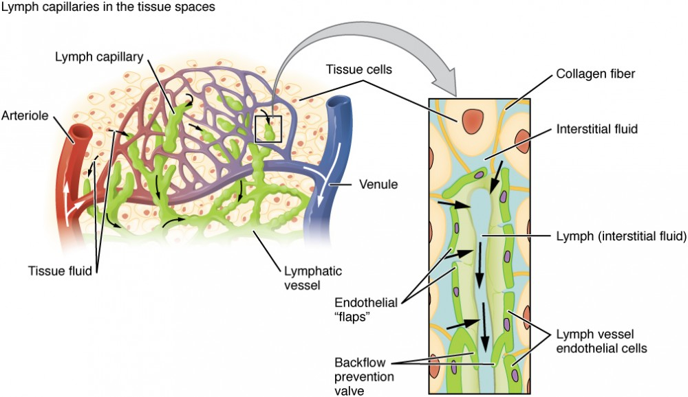 Anatomy Of The Lymphatic And Immune Systems Anatomy And Physiology Ii