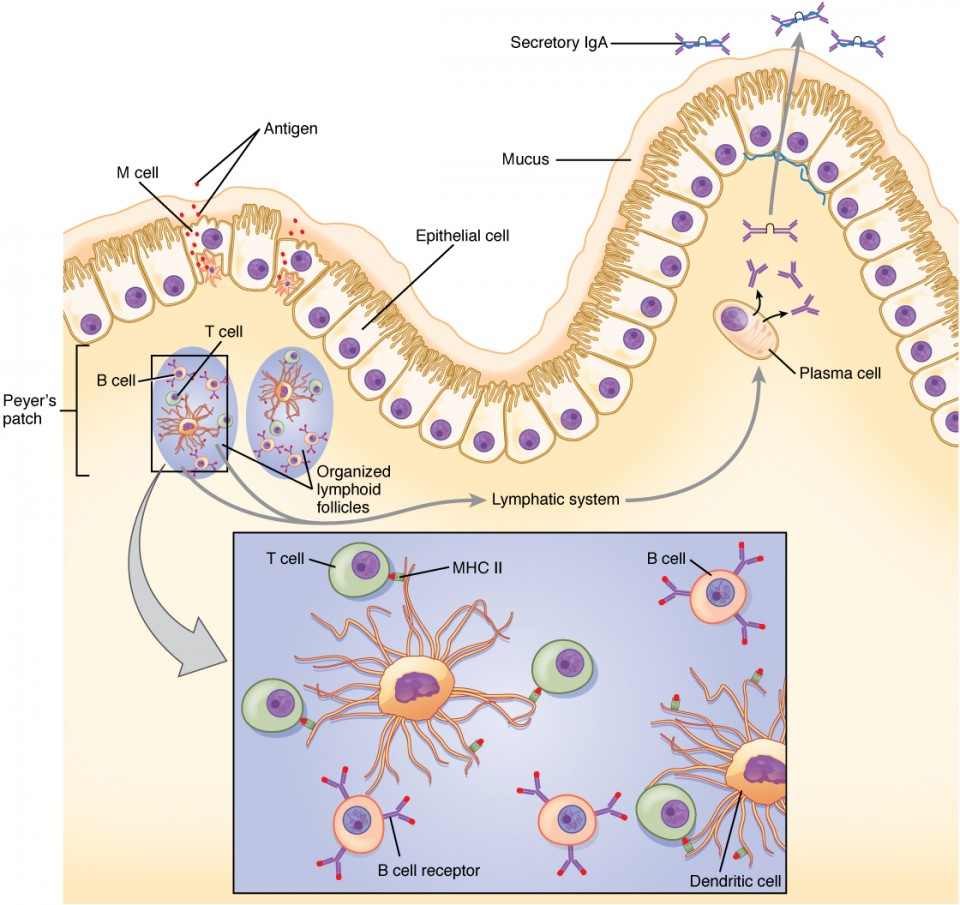 The Immune Response against Pathogens | Anatomy and Physiology II