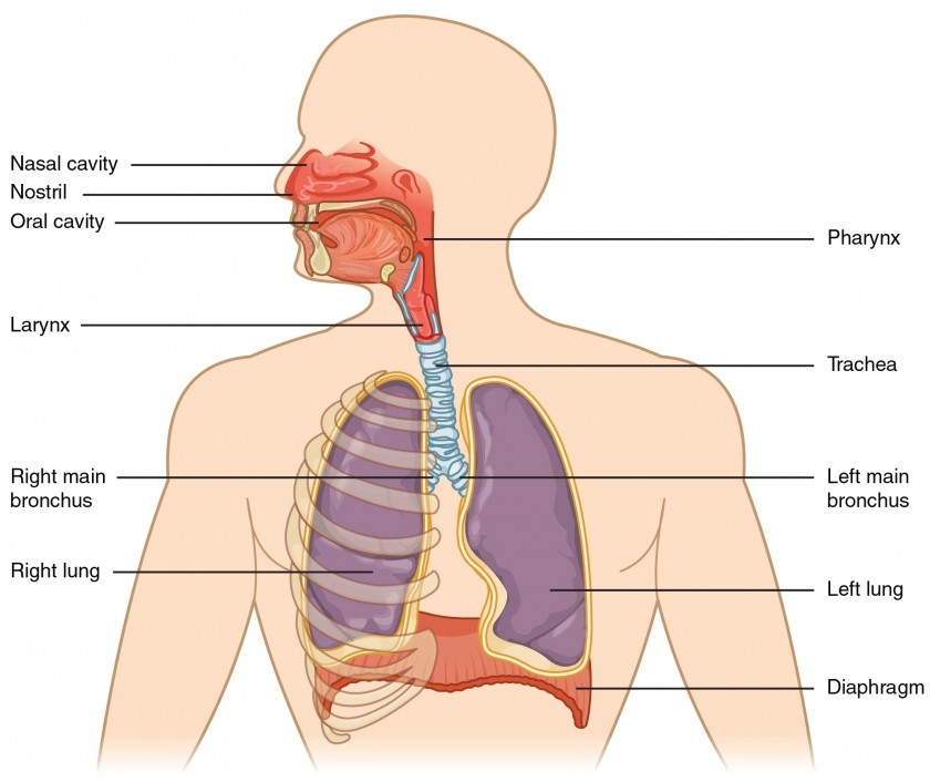 This Figure Shows The Upper Half Of The Human Body. The Major Organs In The