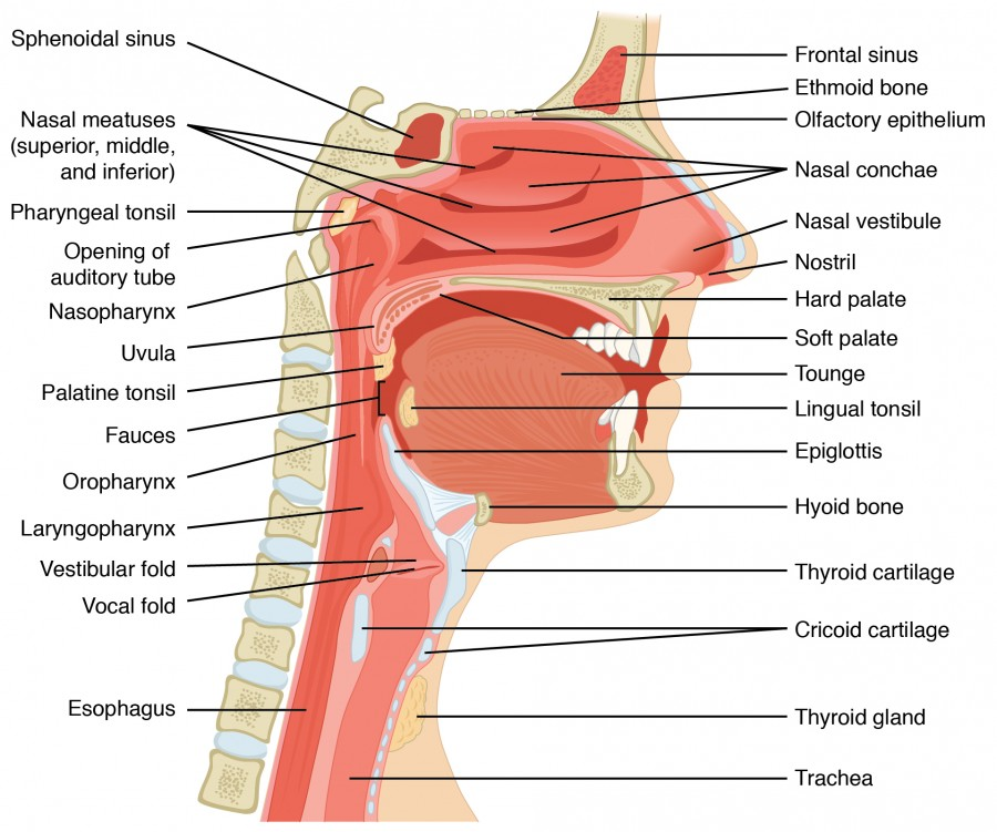 Organs and structures of the respiratory system anatomy and this figure shows a cross section view of the nose and throat the major parts ccuart Choice Image