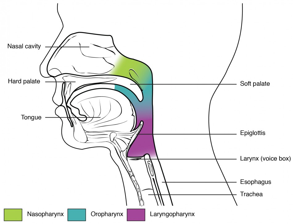 this figure shows the side view of the face  the different parts of the  pharynx