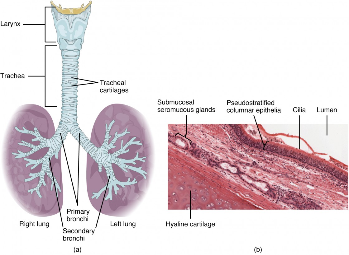 Organs And Structures Of The Respiratory System