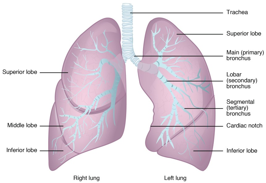 The Lungs | Anatomy and Physiology II