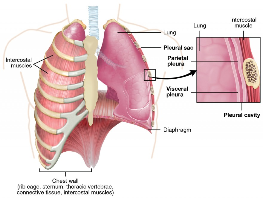 The lungs anatomy and physiology ii this figure shows the lungs and the chest wall which protects the lungs in ccuart Images