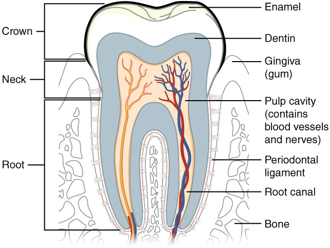 This diagram shows a cross-section of a human tooth elucidating its structure. The major parts of the tooth along with the blood vessels are shown.