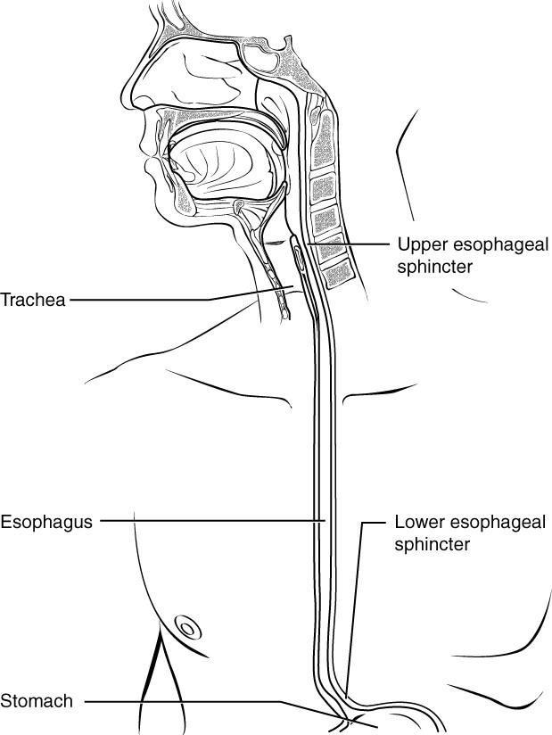 This diagram shows the esophagus, going from the mouth to the stomach. The upper and the lower esophageal sphincter are labeled.