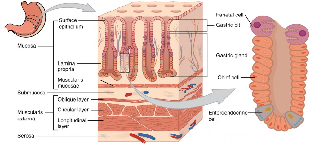 Diagram Intestine Layers Diagram Electrical Work Wiring Diagram