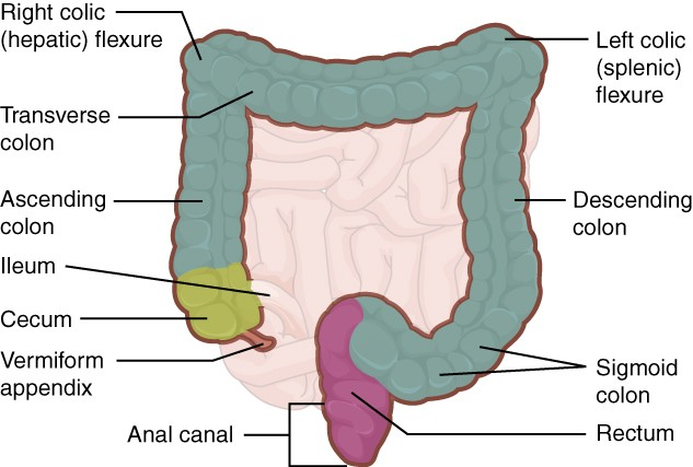 Small Intestine Diagram Labeled