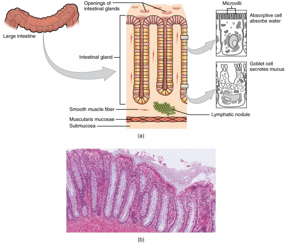 The Small and Large Intestines | Anatomy and Physiology II