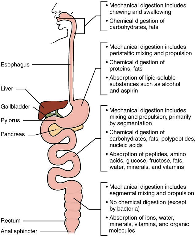Chemical Digestion and Absorption A Closer Look Anatomy