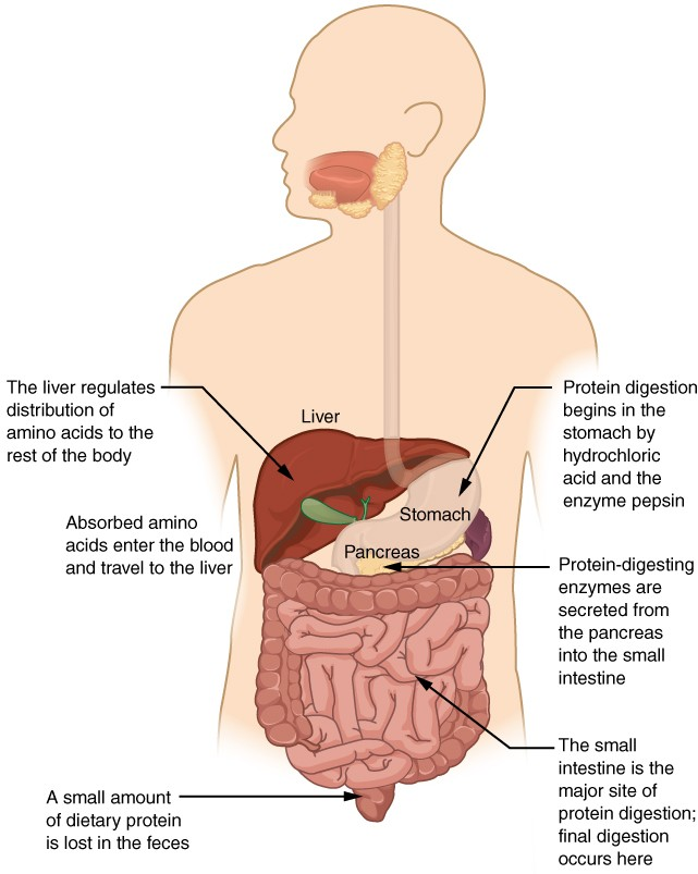 Chemical Digestion and Absorption: A Closer Look | Anatomy and ...
