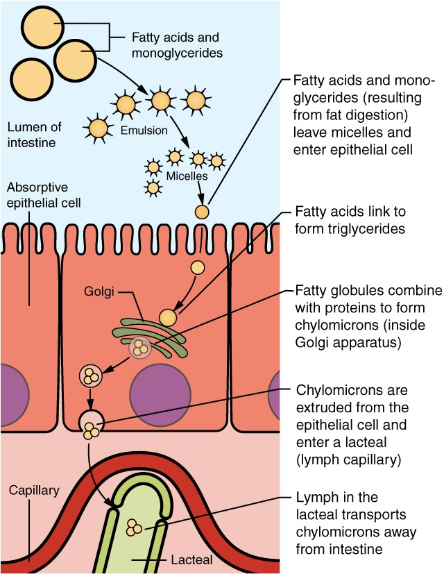 this diagram shows how lipids are absorbed from the lumen of the intestine  into the lacteals