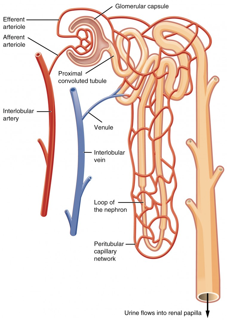 Gross Anatomy Of The Kidney Anatomy And Physiology Ii