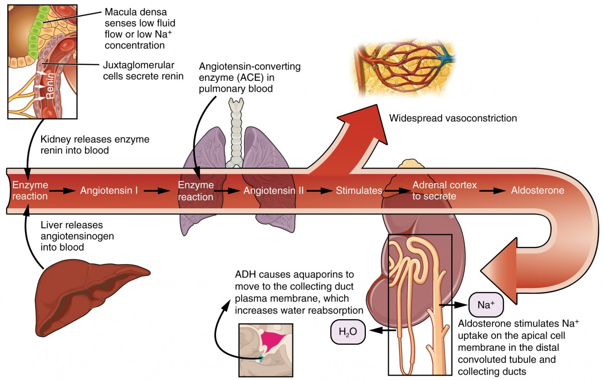 This diagram shows the pathway of action of the renin-aldosterone-angiotensin system. An arrow in the center of the image shows the sequence of events that take place, and branching off from this arrow are indications of where in the body these events take place.