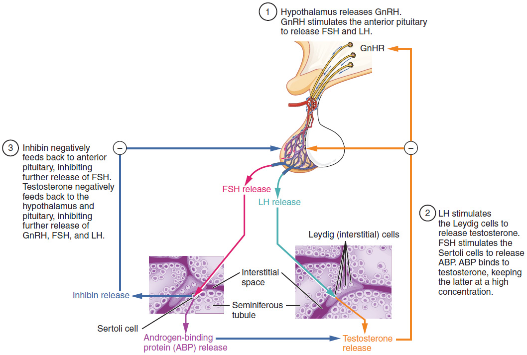 Anatomy and physiology of the male reproductive system anatomy and this figure shows the steps in the regulation of testosterone production the top panel shows ccuart