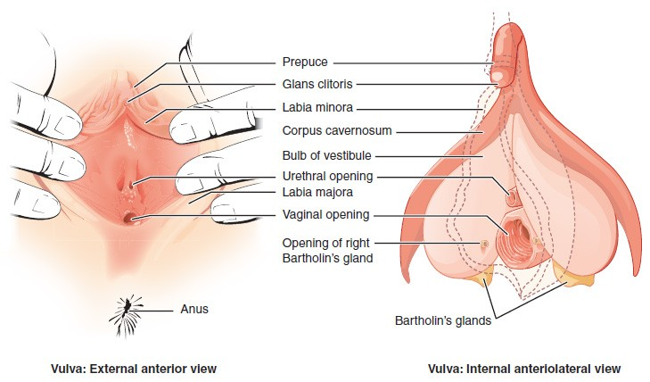 Anatomy and physiology of the female reproductive system anatomy this figure shows the parts of the vulva the right panel shows the external anterior ccuart Choice Image
